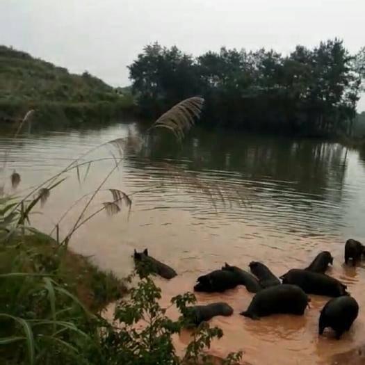 潜山市土猪 土畜土禽及健康农产品推广