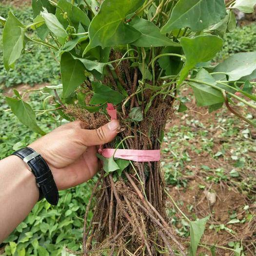 昆明呈贡区何首乌种子 何首乌种苗,亩产3吨左右,3年收