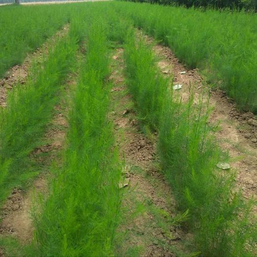 北京养心菜苗 种苗