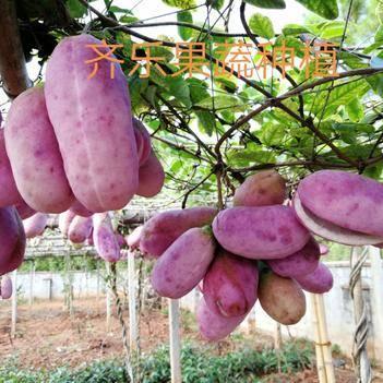 八月瓜苗 新品水果八月炸苗 三叶木通种苗培育基地