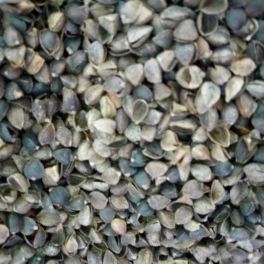 天水麦积区荞麦壳