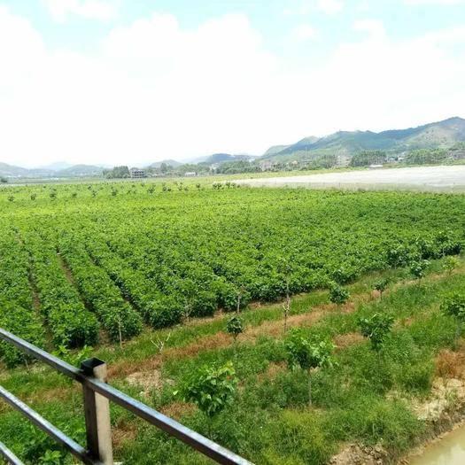 广西壮族自治区梧州市岑溪市桑芽 人工种植 5cm以下