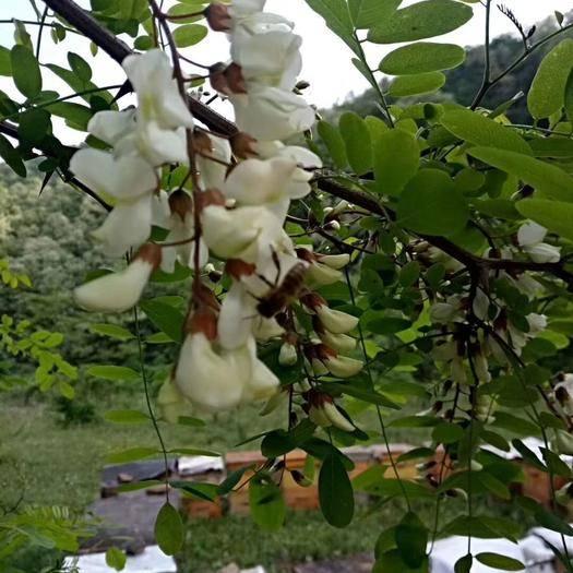 滨州沾化区槐花蜜  2年以上 塑料瓶装 95%以上 洋槐花蜜