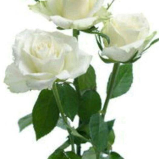 昆明呈貢區 玫瑰花小苗 一手貨源 24小時內發貨
