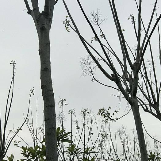 潛江潛江市黃山欒樹