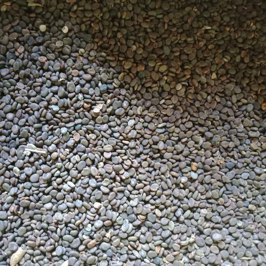 岷县黄芪种子