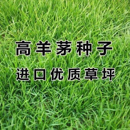 济宁梁山县高羊茅种子