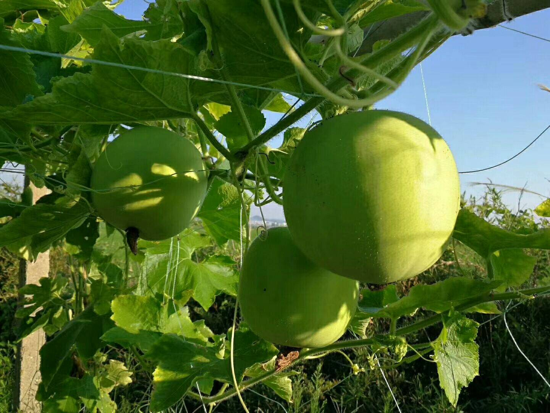 芋香冬瓜 6~10斤 地冬瓜