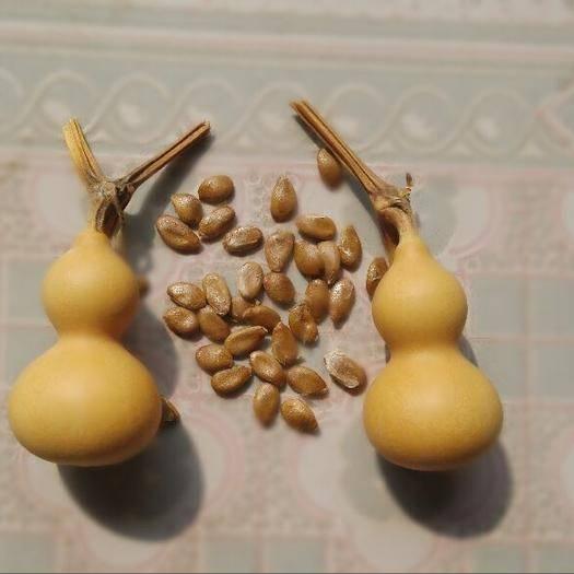 济南手捻葫芦种子