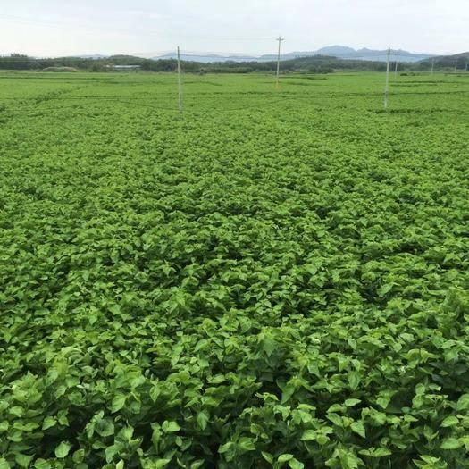 广东省清远市英德市桑芽 袋装 人工种植