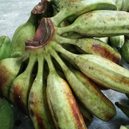 红河蒙自市河口高把香蕉 七成熟 40斤以下