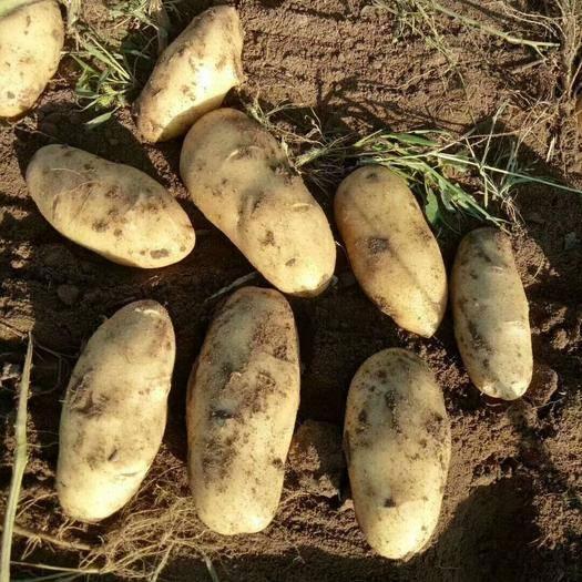 圍場滿族蒙古族自治縣荷蘭15號土豆 2兩以上
