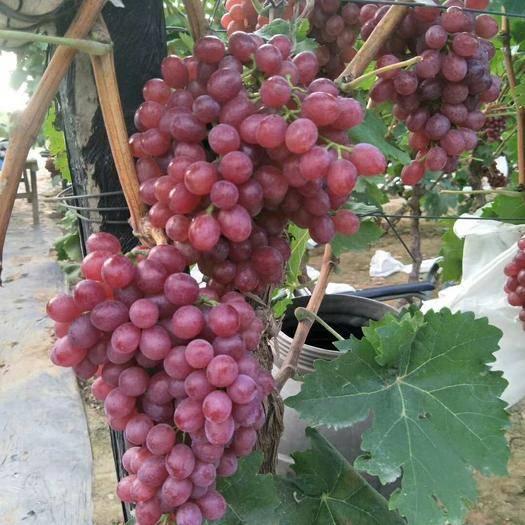 邯郸红宝石葡萄 5%以下 1次果 1-1.5斤