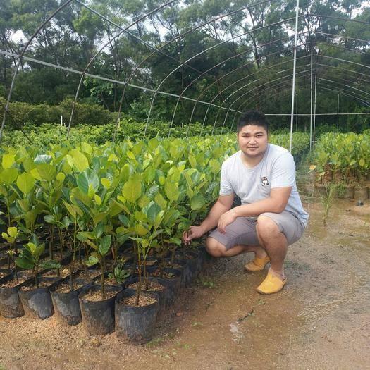 惠州惠东县马来西亚一号菠萝蜜苗