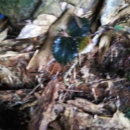 泉州安溪县金雀花种