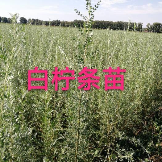 赤峰翁牛特旗 白柠条苗