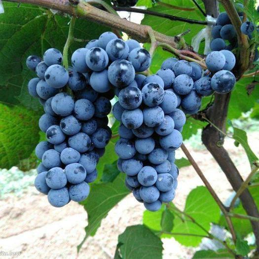 连南瑶族自治县山葡萄 5%以下 1次果 0.6-0.8斤