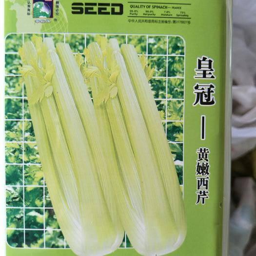 宿迁沭阳县西芹 60cm以上 露天种植 1.0~1.5斤