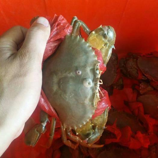 漳州漳浦县青蟹 4.0两以上 母蟹