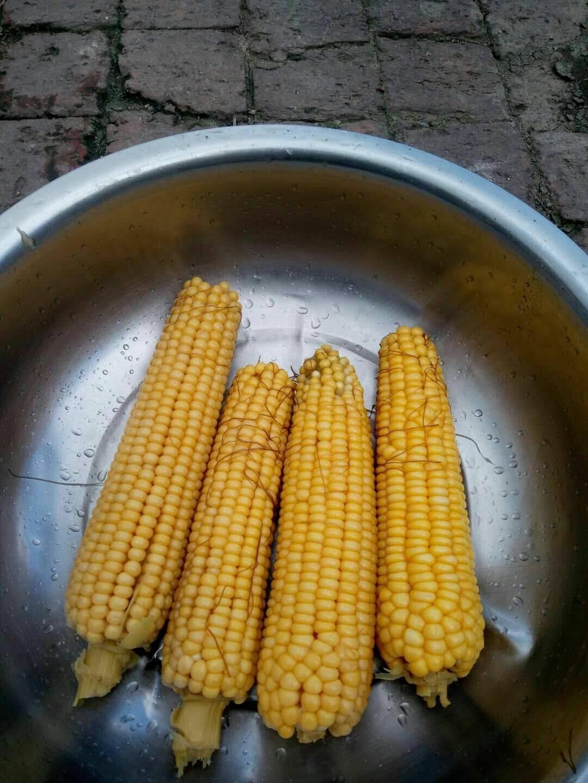 金科糯玉米 黄粒 鲜货