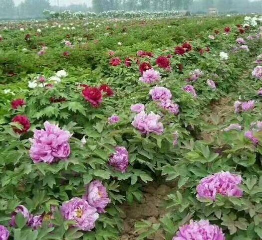 菏泽牡丹区白芍种子