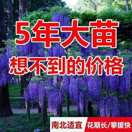 宿遷沭陽縣重瓣紫藤 0.5~1米 1公分以下