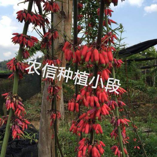 黔西兴义市黄精种苗 红花滇黄精籽育苗 包花色