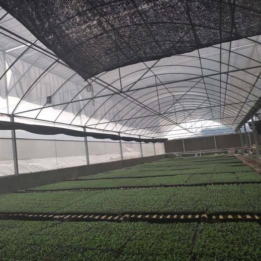 潍坊寿光市非洲冰草 有机