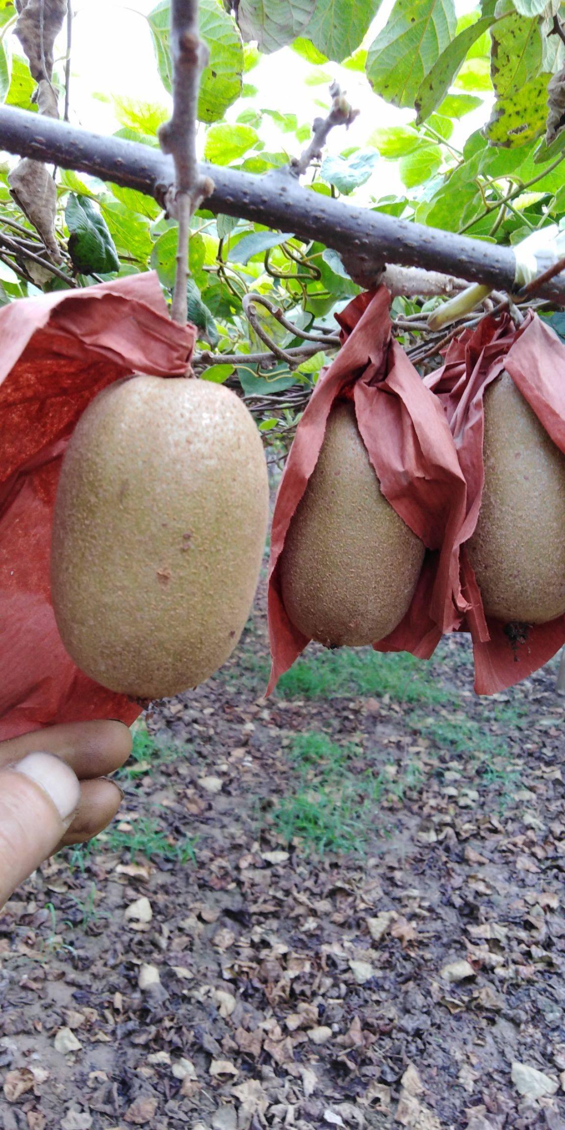 金桃猕猴桃 80~100克