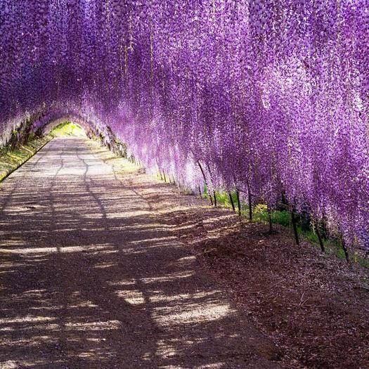 泰安岱岳區多花紫藤  1公分以下 0.5~1米 花序滿花期長成活率高