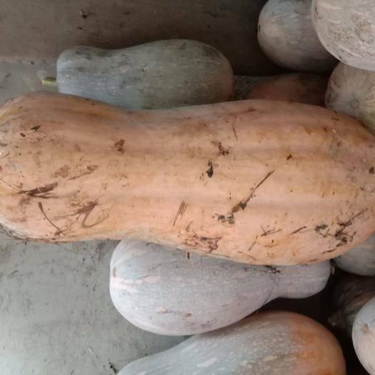 绥阳县金蜜二号 6~10斤 长条形