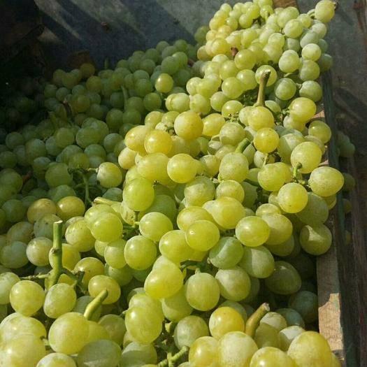 平度市泽山一号葡萄 1.5- 2斤 5%以下 1次果