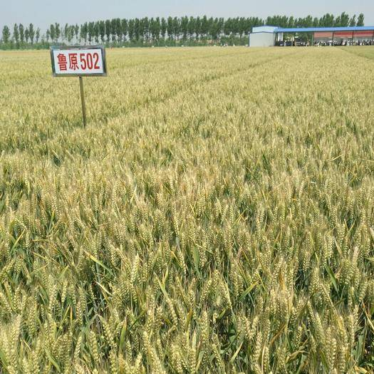 濟南歷城區小麥種子 雜交種 ≥98% ≥97% ≥95% ≤13%