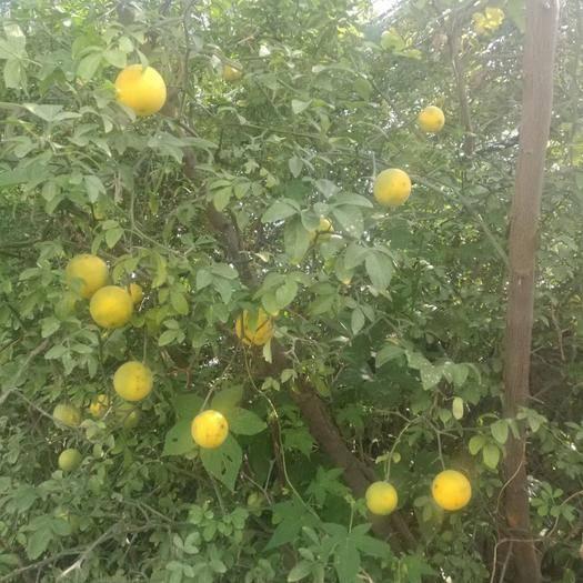 泰安岱岳区枳壳种子