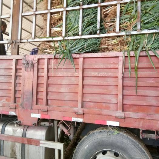甘肃省白银市靖远县白葱菌 人工种植 鲜货