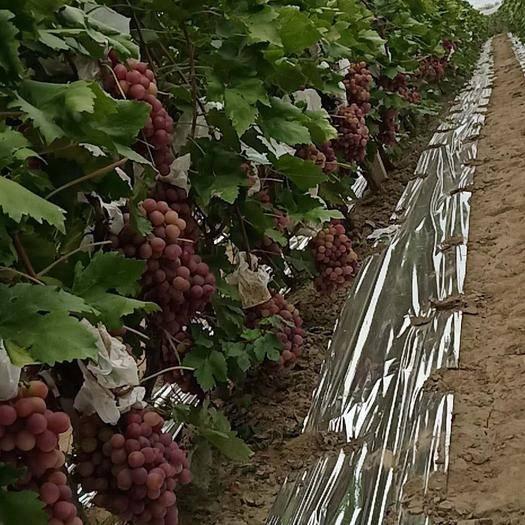 广宗县美国红提 2斤以上 5%以下 1次果
