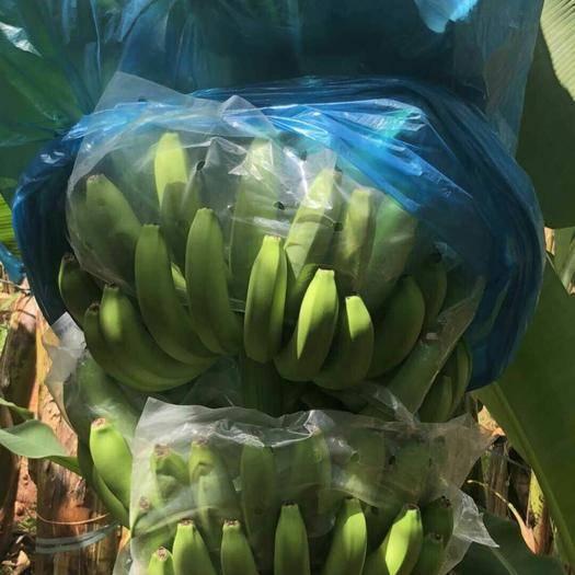 南宁广东香蕉1号 九成熟 40斤以下