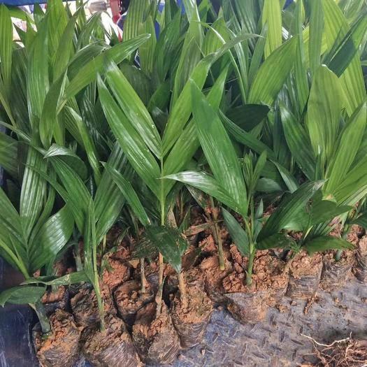 三亚海棠区槟榔种子