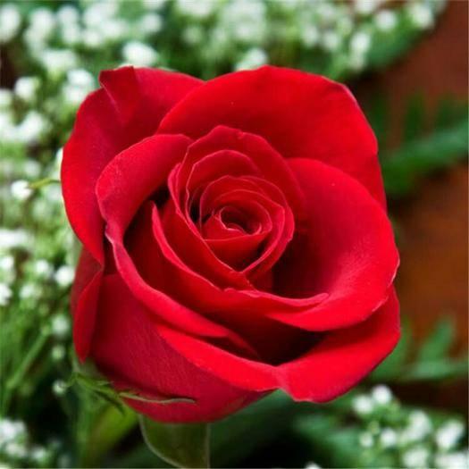 昆明呈贡区 玫瑰苗 四季玫瑰