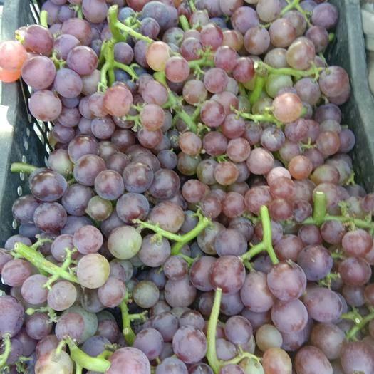 石家庄晋州市酿酒葡萄 10%以上 1次果 0.4-0.6斤