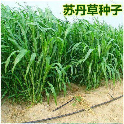 宿迁沭阳县苏丹草种子