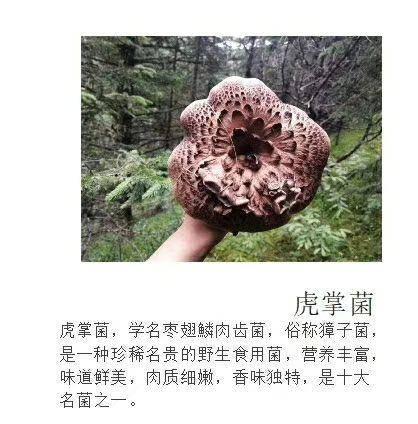 四川省甘孜藏族自治州炉霍县黑虎掌菌 野生 鲜货