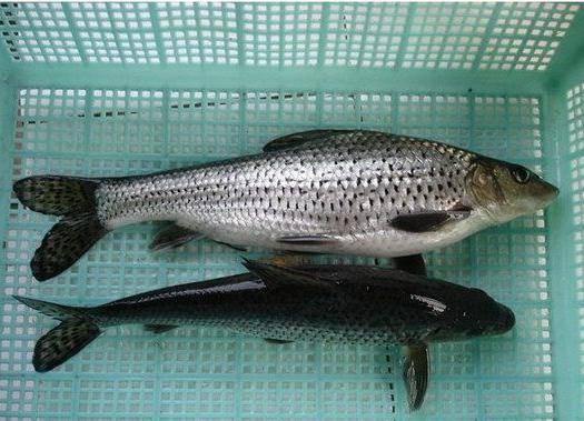 湖州南浔区花骨鱼 人工养殖 0.05公斤