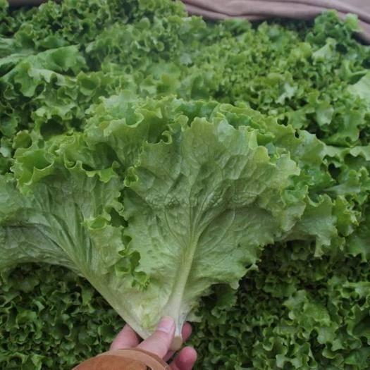邯鄲 邯鄲散葉生菜大量供應各種蔬菜