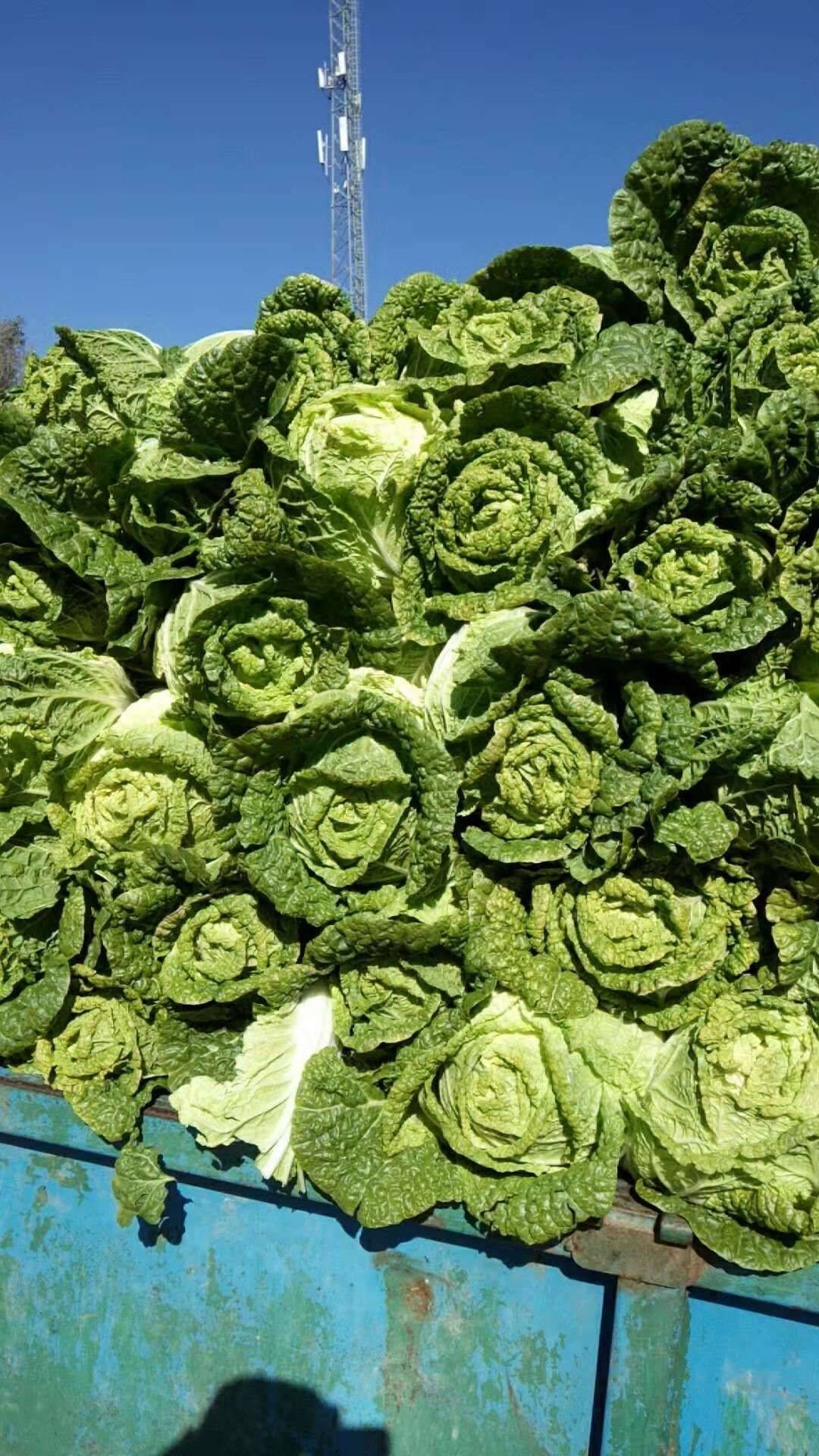 黄心大白菜 3~6斤 毛菜