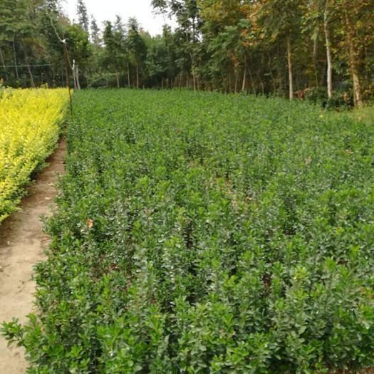 信陽光山縣大葉黃楊 農戶直供,五百萬棵,30~50公分