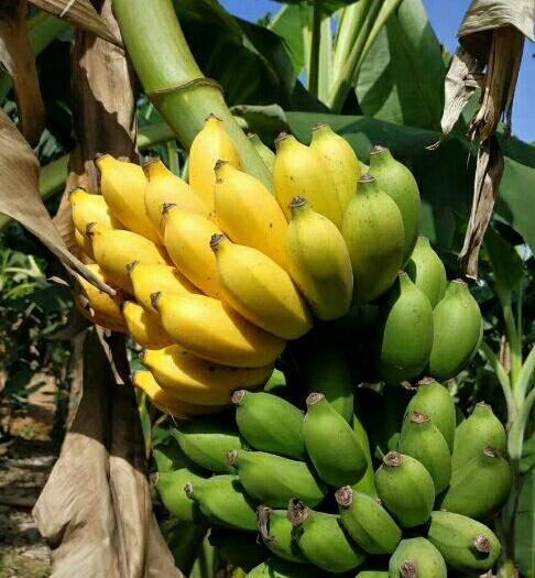 南宁 米蕉香蕉网红香蕉非红香蕉粉蕉