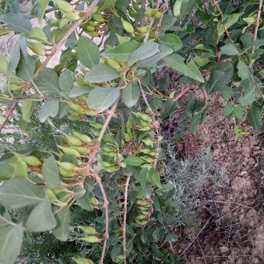 絳縣 山西連翹苗 黃金樹 黃老虎 掛果早  產量高