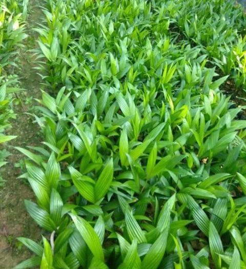 万宁万宁市槟榔种子 海南本地的,拿货10000(一万)支以上的,都免费送货上门。