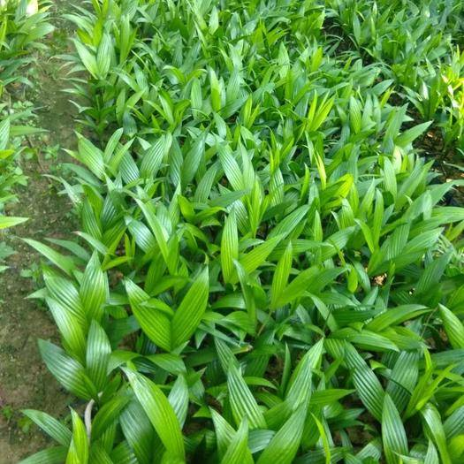 万宁万宁市槟榔种子 现在的苗木已经高有50公分左右,有意者请联系本人。货真价实。